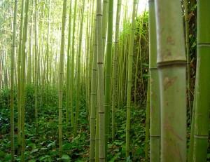 Bambuväxten är mycket användbar för produktion av olika ting